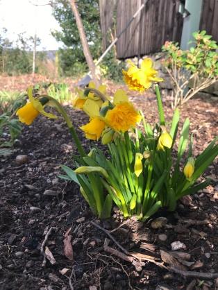 Double flowering Tete-a tete